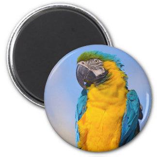 Gelbbrustara macaw on perch magnet