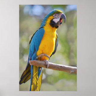 Gelbbrustara macaw on perch poster
