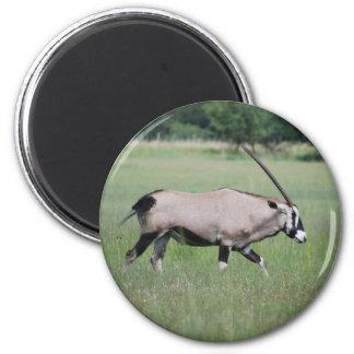 Gemsbok antelope magnet
