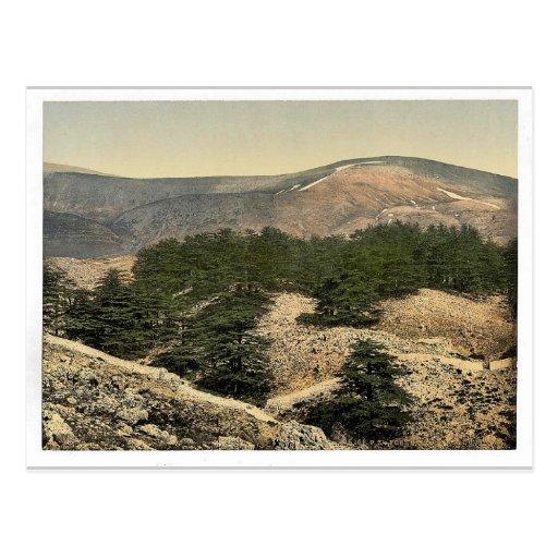 General view of the cedars of Lebanon, Lebanon, Ho Post Card