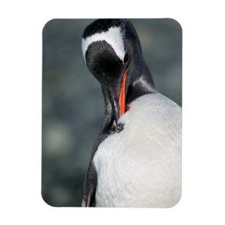 Gentoo Penguin in Neko Harbor Antarctica Rectangular Photo Magnet