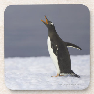 Gentoo penguin (Pygoscelis papua) adult bird Beverage Coaster
