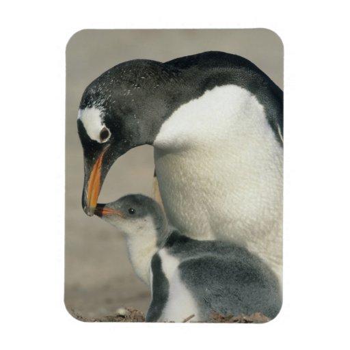Gentoo Penguin, (Pygoscelis papua), adult Flexible Magnet