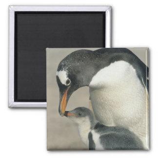 Gentoo Penguin, (Pygoscelis papua), adult Square Magnet