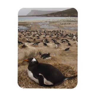 Gentoo Penguin (Pygoscelis papua) colony, West 2 Rectangular Photo Magnet