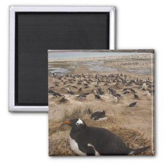 Gentoo Penguin (Pygoscelis papua) colony, West 2 Square Magnet
