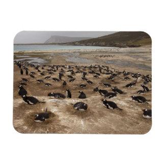 Gentoo Penguin (Pygoscelis papua) colony, West Rectangular Photo Magnet