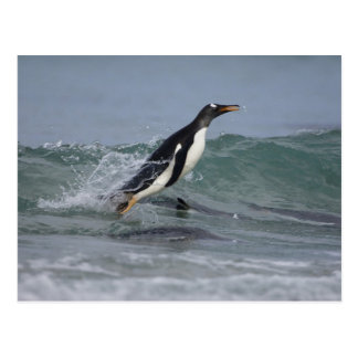 Gentoo Penguin Pygoscelis papua) coming in on Postcard