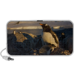 gentoo penguin, Pygoscelis Papua, parent with Speakers