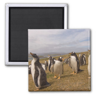 gentoo penguin, Pygoscelis papua, rookery on Magnet