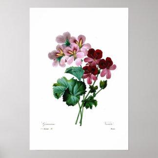 Geranium varieties posters