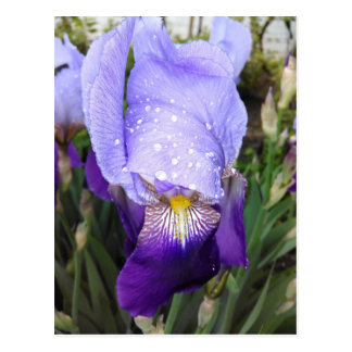 German Iris With Some Raindrops Postcard