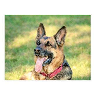 German Shepard Postcard