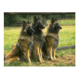 German Shepherd Dogs Postcard