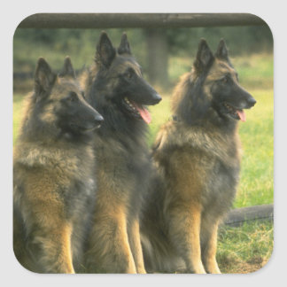 German Shepherd  Dogs Square Sticker