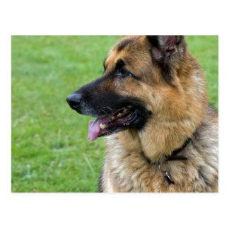 German Shepherd Profile Postcard