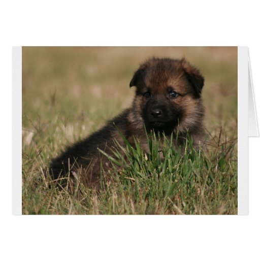 """German Shepherd Puppy """"The Lookout"""" Greeting Cards"""