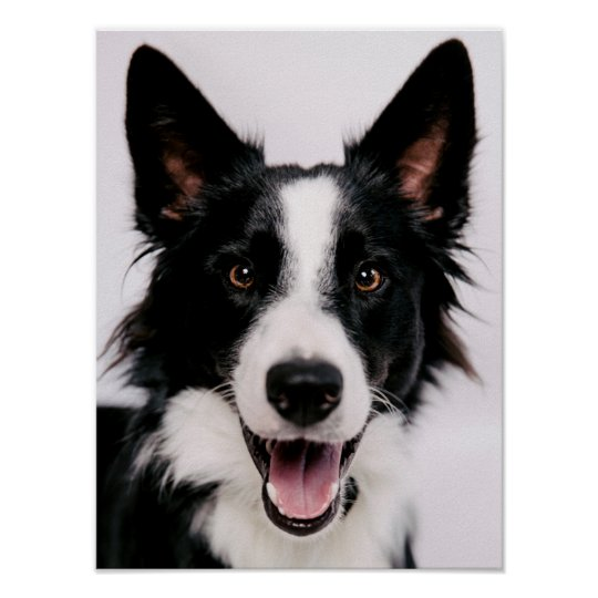 Getty Images | A Smiling Border Collie Poster