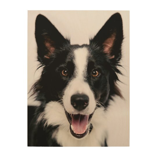 Getty Images   A Smiling Border Collie Wood Wall Art