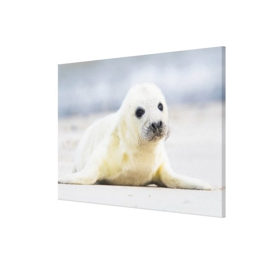 Getty Images | Baby Seal Canvas Print
