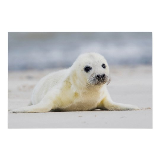 Getty Images | Baby Seal Poster