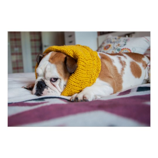 Getty Images   English Bulldog Poster