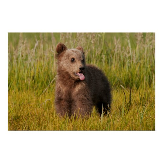 Getty Images   Funny Baby Bear Poster