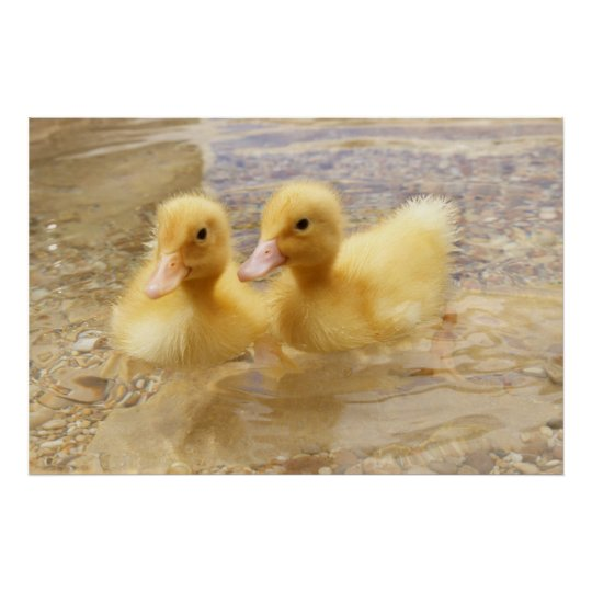 Getty Images | Fuzzy Yellow Ducklings Poster