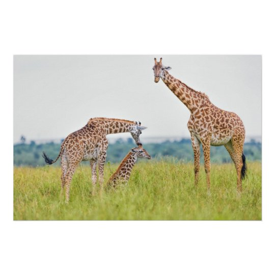 Getty Images | Giraffe Family Poster