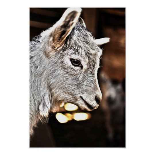 Getty Images | Little Goat Poster