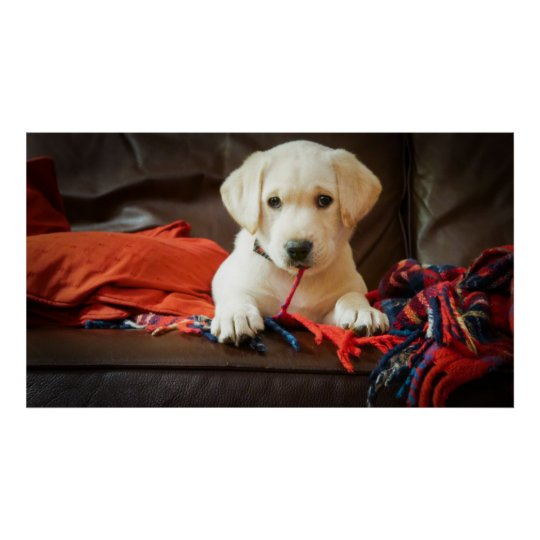 Getty Images   Puppy On A Sofa Poster