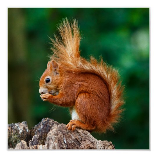 Getty Images   Red Squirrel Poster