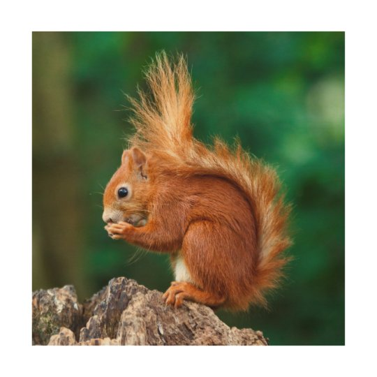 Getty Images   Red Squirrel Wood Wall Art
