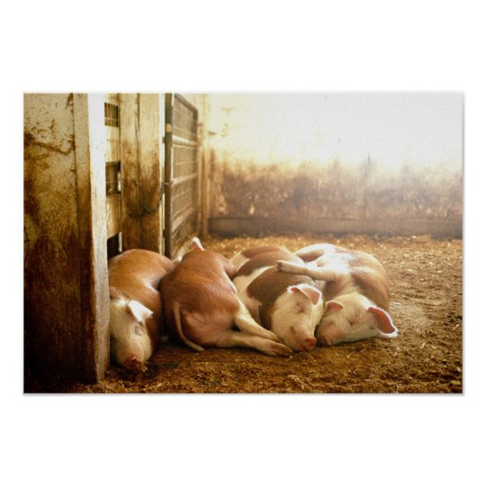 Getty Images | Snuggling Pigs Poster
