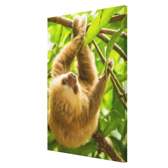 Getty Images | Upside Down Sloth Canvas Print