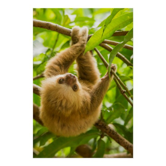Getty Images | Upside Down Sloth Poster