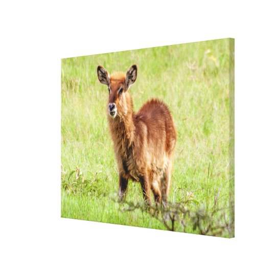 Getty Images | Young Brown Antelope Waterbuck Canvas Print