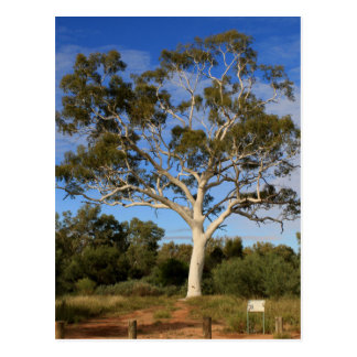 Ghost gum tree, Outback Australia Postcard