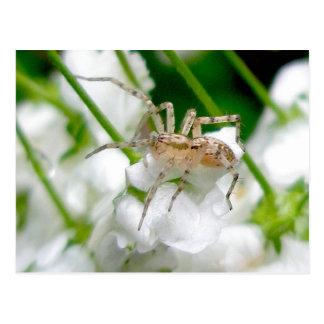 Ghost Spider (Anyphaenid?) Postcard