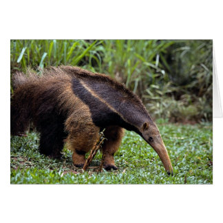 Giant anteater (Myrmecophaga tridactyla) Card
