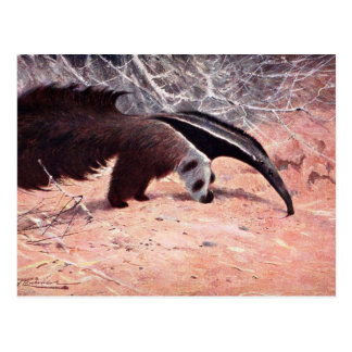 Giant Anteater Vintage Illustration. Postcard