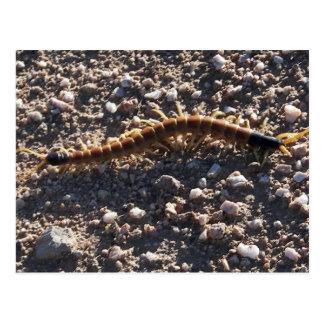 Giant Desert Centipede Postcard