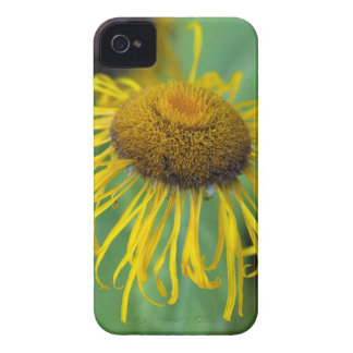 Giant Fleabane  (Inula magnifica) iPhone 4 Covers