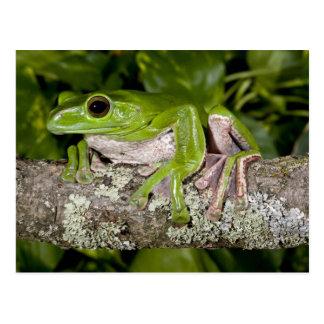 Giant Gliding Frog, Polypedates dennysi ssp, Postcard