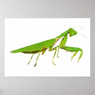 Giant Green Praying Mantis Poster