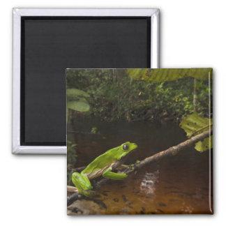 Giant leaf frog Phyllomedusa bicolor) 2 Square Magnet