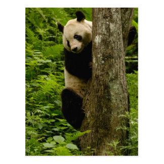 Giant panda Ailuropoda melanoleuca) Family: 2 Postcard