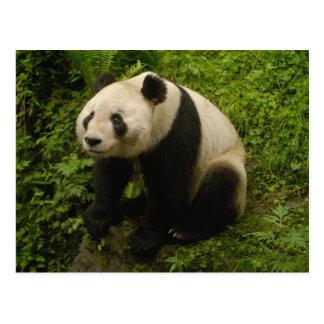Giant panda (Ailuropoda melanoleuca) Family: 6 Postcard