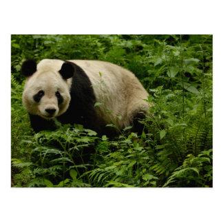 Giant panda (Ailuropoda melanoleuca) Family: 7 Postcard