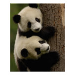 Giant panda babies (Ailuropoda melanoleuca) 2